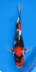 "11"" Japanese Gin Rin Showa